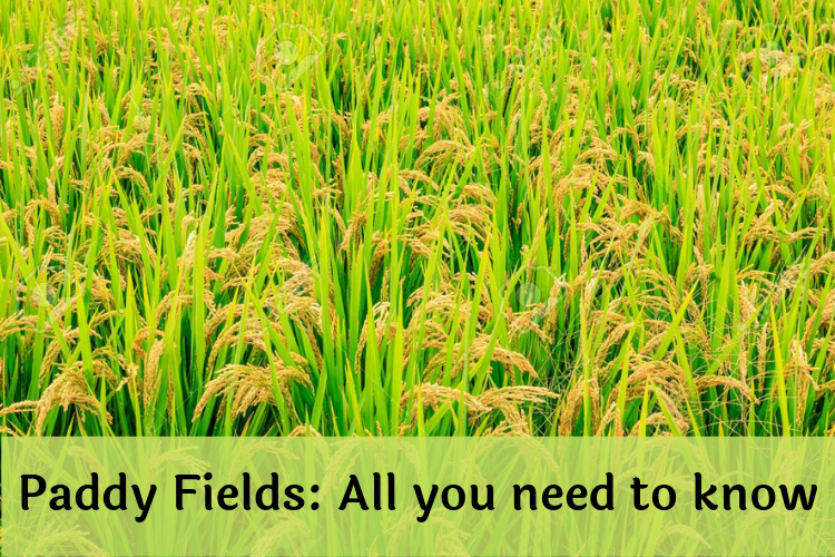 All you need to know about Paddy fields