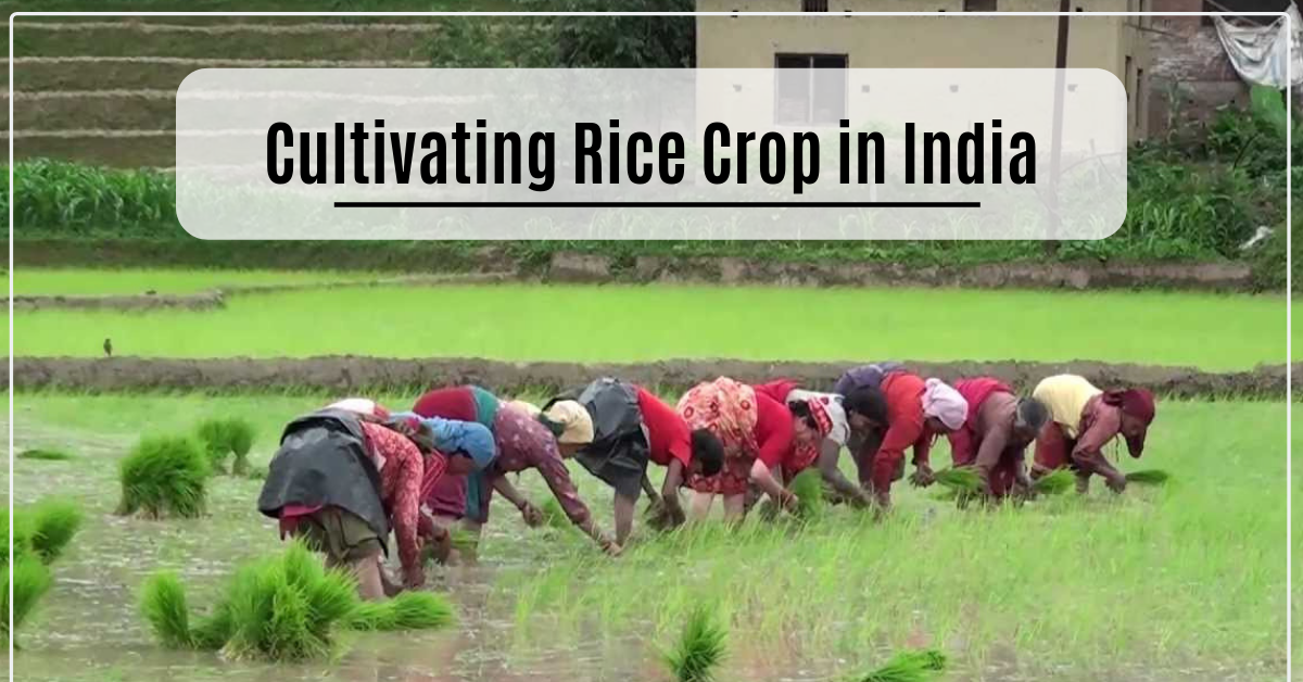 Cultivating Rice Crop in India