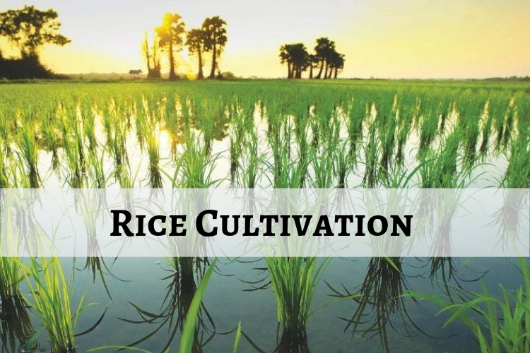 Cultivation of Rice in India: Conditions, Methods and production